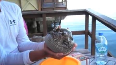 Il pesce palla si gonfia per difendersi e poi si sgonfia quando lo lasciano libero