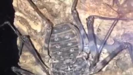 È dotato di enormi cheliceri ma non è un ragno né uno scorpione
