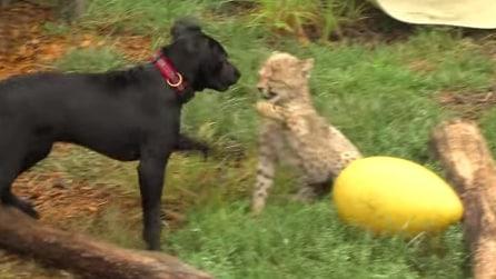Cucciolo di ghepardo incontra un cane: guardate che succede
