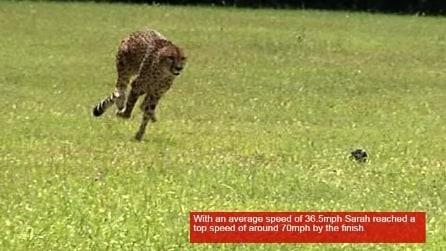 L'incredibile velocità del ghepardo: una corsa da record