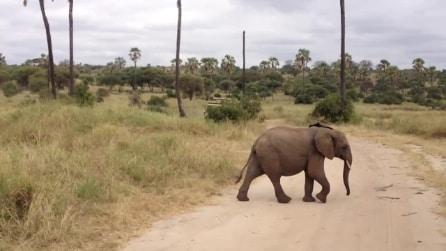 Mamma elefante attraversa la strada, poco dopo guardate chi sbuca dai cespugli