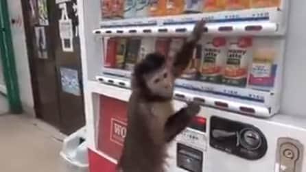 La scimmia ha sete, si avvicina al distributore e guardate che fa