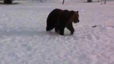 L'orso giocherellone che se la spassa nella neve in città