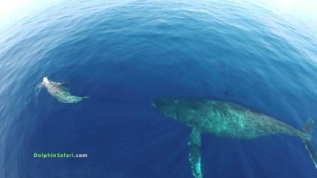 Balene azzurre in via d'estinzione arrivano in California, le riprese spettacolari con il drone