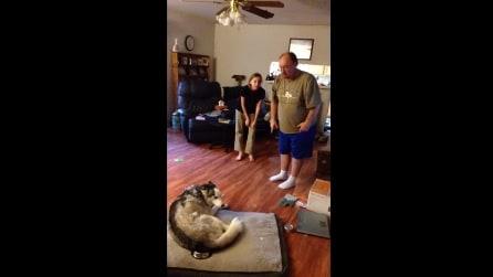 Il padrone rimprovera l'husky, non crederete mai alla reazione del cane