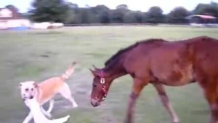 Il cane afferra l'asciugamano e si avvicina al cucciolo di cavallo. Guardate la sua reazione