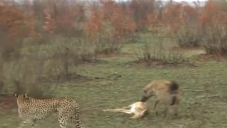 Tra i due litiganti, il terzo gode: la gazzella finge e poi scappa dalla iena e dal ghepardo