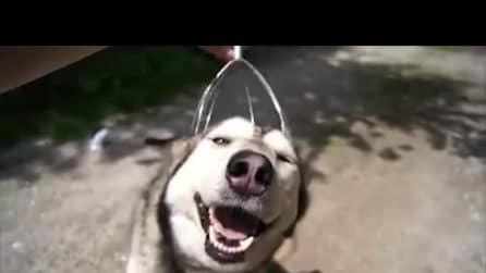Il cane che ama il massaggio alla testa