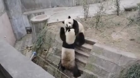 La rissa tra panda più buffa che abbiate mai visto