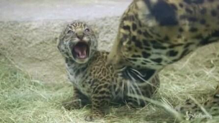 San Diego, la prima uscita in pubblico del cucciolo di giaguaro