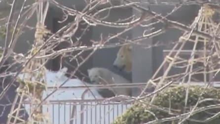 La prima del cucciolo di orso polare, insieme alla sua mamma