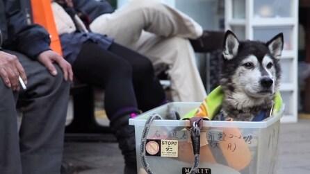 Il suo husky ha difficoltà a camminare, il padrone gli fa un regalo bellissimo