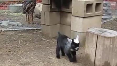 La capretta appena nata comincia a camminare e il suo portamento diverte tutti