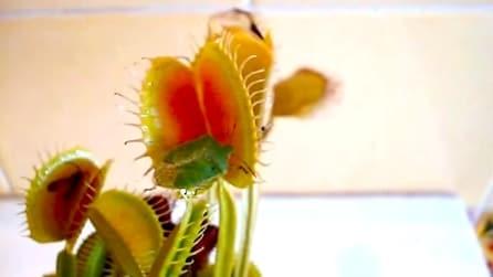 Come si nutrono le piante carnivore
