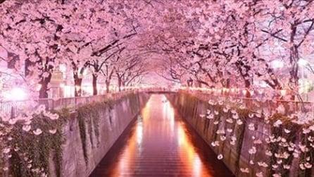 Arriva la primavera in Giappone, lo spettacolo della fioritura dei ciliegi