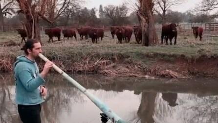 """Comincia a suonare questo strano strumento: incredibile """"reazione"""" delle mucche"""