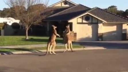 """Due canguri """"litigano"""" davanti a una casa. Incredibile"""