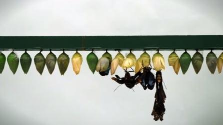 Avete mai visto una crisalide trasformarsi in farfalla? Ecco l'affascinante video