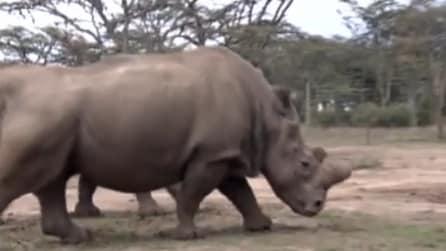 Il rinoceronte bianco con la scorta: è l'ultimo esemplare rimasto in vita