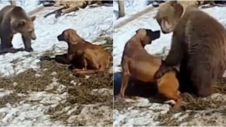 Il giovane orso grizzly si avvicina al cane e succede qualcosa che non immaginate