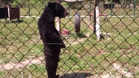 L'incredibile orso con sembianze umane