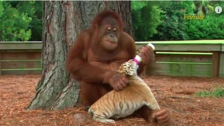 Una speciale babysitter: la scimmia si prende cura dei tigrotti