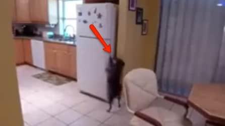 È solo in casa e guardate cosa fa questo cane per aprire il frigo