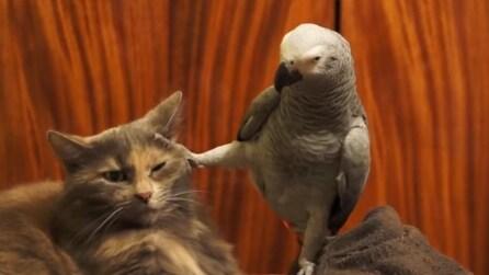 Il pappagallo vuole attenzioni: quello che fa è troppo divertente