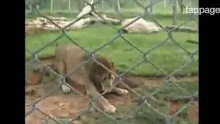Chiuso in gabbia per 10 anni: la straordinaria reazione del leone quando corre sul prato