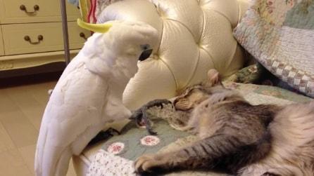 Il pappagallo curioso che importuna il gatto: guardate che succede