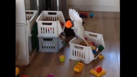 Il pappagallo prende le costruzioni del bimbo e guardate cosa inizia a fare