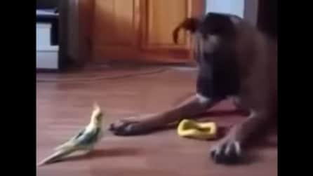 Il grosso cane guarda il pappagallo e reagisce così