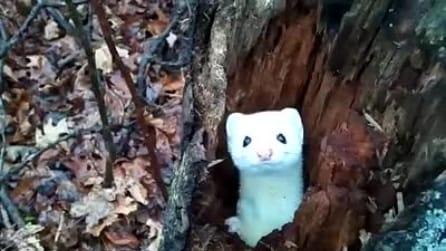 Sbuca dall'albero, ma appena vede la telecamera guardate cosa fa