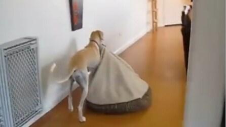 Il cane prende il suo letto e guardate dove lo porta