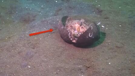 Una noce di cocco in fondo al mare, arriva il polpo e guardate cosa ci fa