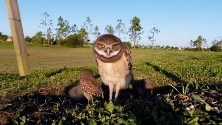 Le civette di fronte alla telecamera fissa: ecco la loro buffa reazione
