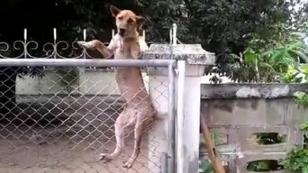 Dall'altra parte del cancello il suo amico: guardate cosa è capace di fare questo cane