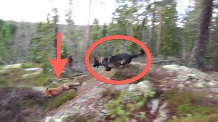 Il pastore tedesco insegue la volpe e quello che fa vi lascerà senza parole