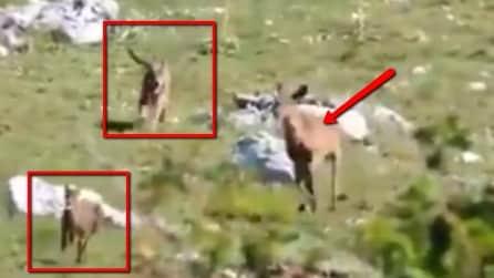 Il lupo tenta di aggredire il cerbiatto ma la reazione di mamma cerva è incredibile