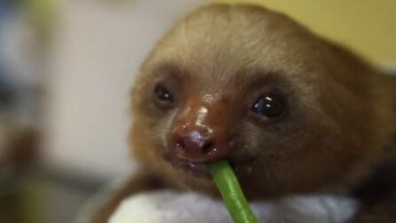 Il cucciolo di bradipo gusta il suo pasto vegetariano