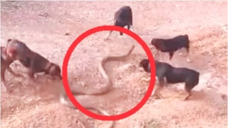 5 cani contro un cobra reale di 4 metri. La reazione del serpente è impressionante!