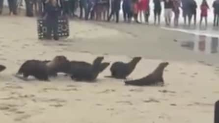 I leoni marini ritrovano la libertà: l'emozionante corsa verso il mare
