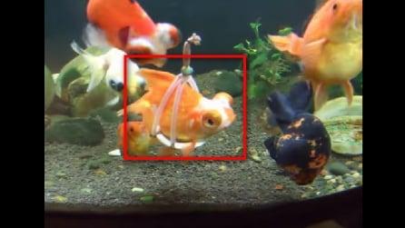 Non riesce a nuotare, guardate cosa gli è stato fatto per aiutarlo a muoversi nell'acquario