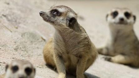 Tutta la tenerezza di cinque cuccioli di suricati allo zoo di Edinburgo