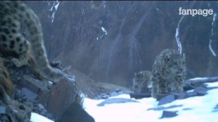 Avvistati 3 leopardi delle nevi, evento più unico che raro