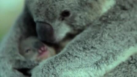 Mamma koala stringe forte il suo cucciolo prima di riporlo nel marsupio: una scena tenerissima!