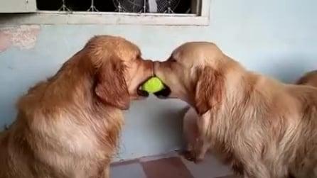 I due cani si contendono la pallina, poi arriva un terzo e guardate che fa
