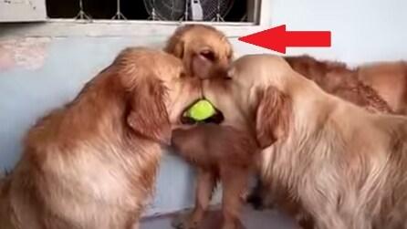 Due golden retrievers si contendono la pallina ma guardate quando arriva il terzo