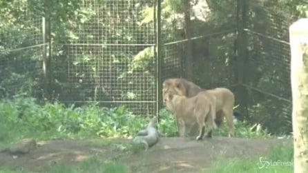 Incontri online anche per i leoni, la coppia di felini si è conosciuta così