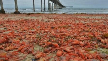 """Invasione di granchi """"mutanti"""" sulle spiagge di San Diego"""